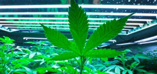 联邦大扫荡!中国黑帮在美买数百房屋,制造史上最大种植大麻案!