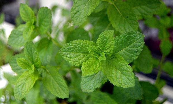 这个夏天不想被蚊子咬?7种常见植物能驱蚊