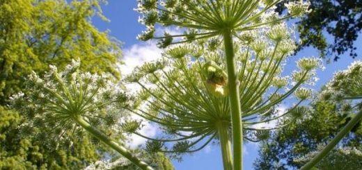 """小心!巨型""""地狱植物""""大猪草正在美国蔓延,看到千万别碰它"""