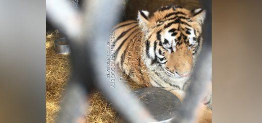 不是幻觉!休斯敦市民寻空屋吸大麻 竟发现一只老虎