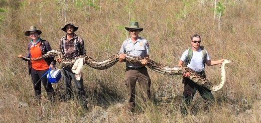"""佛州国家保护区捕获""""移民""""巨蟒,长逾17英尺,重百余磅"""