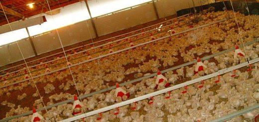 禽肉加工商被指合谋操纵鸡肉价格 司法部介入调查