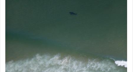 麻州度假胜地惊现150多只大白鲨 海滩被迫关闭