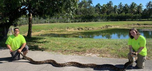佛州捕获大沼泽巨蟒 身长约六米