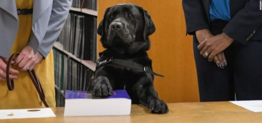 暖心救助儿童 超萌治疗犬当上检察官助理