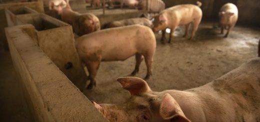 瘟疫致世界猪肉供应紧张 美国肉价罕见走高