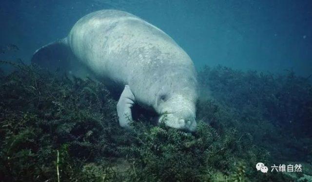 巨海牛搁浅美国海滩,人力难搬动重1000磅动物,用推土机救助
