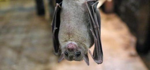 风波再起?印度报告:当地蝙蝠身上发现另一种冠状病毒