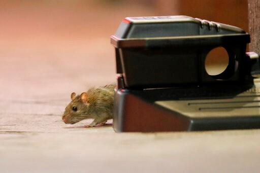 警惕!CDC:疫情致觅食难 鼠类正变得异常和攻击性