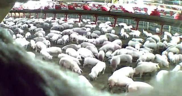 人为惨剧!数千头猪被用蒸汽活活烤死,美国猪场因疫情瘫痪
