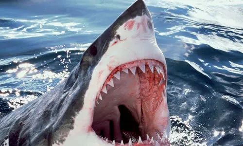 女富豪海滩度假 被大白鲨拖进海里生吞 女儿目睹全程 游泳时千万别穿这个!