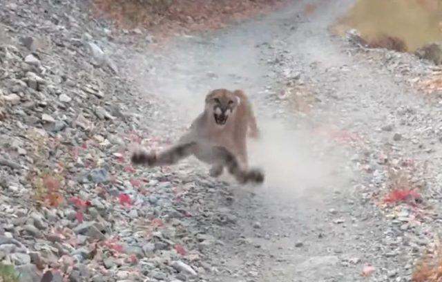惊险! 男子慢跑时突遇美洲狮 被狂追6分钟 靠这招赢了狮子逃过一劫!