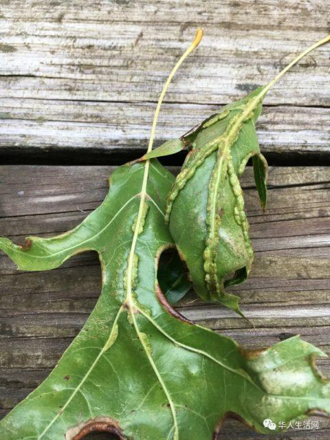 小心!虫螨大爆发!半个美国中招!看到这种树快躲开,家中开窗也注意!