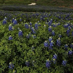 Native Texas Park Bluebonnet Tours(土矢车菊公园游)